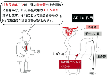 ADH.png