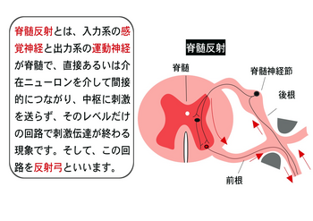 脊髄反射.png